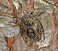 Grey Cicada (Cicada orni) (35807950985).jpg