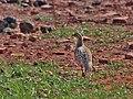 Grey Francolin (Francolinus pondicerianus) at Bharatpur I IMG 5269.jpg
