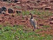 Grey Francolin (Francolinus pondicerianus) at Bharatpur I IMG 5269