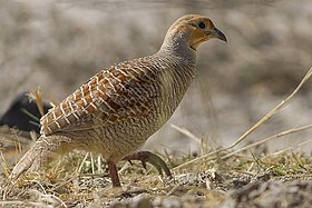 Grey Francolin Tal Chappar Churu Rajasthan India 14.02.2013.jpg