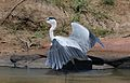 Grey Heron, Ardea cinerea, at Pilanesberg National Park, Northwest Province, South Africa (28462993462).jpg