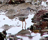 Grey Tailed Tattler.jpg