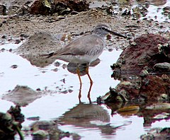 Grey-tailed Tattler (Tringa brevipes)