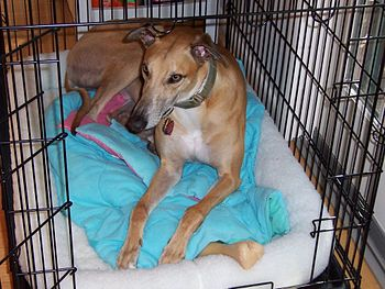 English: A greyhound lying in his wire dog crate