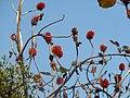 Greyia sutherlandii, bloeiwyses, Manie van der Schijff BT, a.jpg