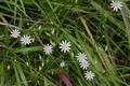 Grossenlueder Uffhausen Auenverbund Fulda Lueder Wintsessmuehle Stellaria palustris.png