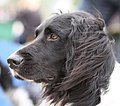 Grote Münsterländer - world dog show 2010 2.jpg