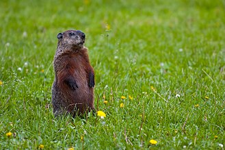 Groundhog - Motionless individual, alert to danger, will whistle when alarmed to warn other groundhogs