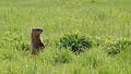 Groundhog (Marmota monax) - Guelph, Ontario 01.jpg