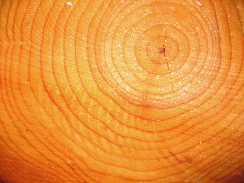 tree ring dating wikipedia Tree ring dating (dendrochronology) has been used in an attempt to extend the calibration of carbon-14 dating earlier than historical records allow the oldest living trees, such as the bristlecone pines (pinus longaeva) of the white mountains of eastern california, were dated in 1957 by counting.