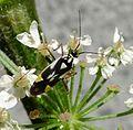 Grypocoris stysi. Miridae - Flickr - gailhampshire.jpg