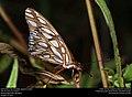 Gulf Fritillary (Nymphalidae, Agraulis vanillae) (30929664101).jpg