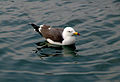 Gull in water.jpg
