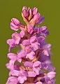 Gymnadenia odoratissima - Niitvälja2.jpg