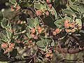 H20150402-0061—Arctostaphylos auriculata—RPBG (16451960933).jpg