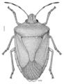 HEMI Pentatomidae Nezara viridula 1.png