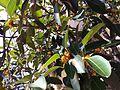 HKCL CWB tree 高山榕 Ficus altissima Oct-2013 008.JPG