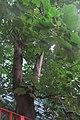 HK 上環 Sheung Wan 水坑口街 Possession Street Footbridge green leaves Candlenut 石栗樹 Aleurites moluccana tree Sept 2017 IX1 04.jpg