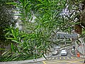HK 上環 Sheung Wan 般咸道休憩花園 Bonham Road Rest Garden green leaves view Breezy Path Feb-2014.JPG
