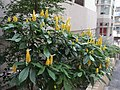 HK Kennedy Town 李寶龍路 Li Po Lung Path yellow flowers tree.JPG