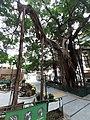 HK SW 上環 Sheung Wan卜公花園 Blake Garden 老榕樹 Chinese banyan tree 氣根 root n trunk February 2020 SS2 15.jpg