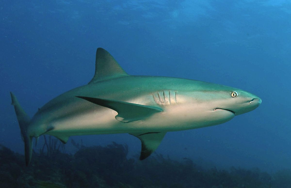 caribbean reef shark wikipedia