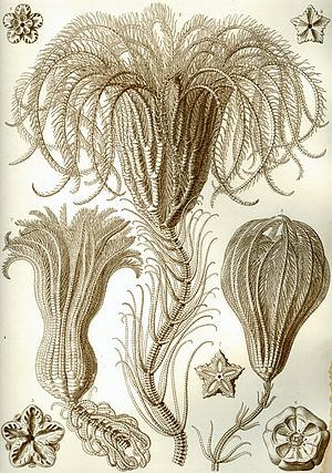 Crinoid - A stalked crinoid drawn by Ernst Haeckel