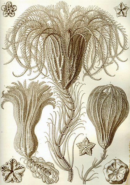 crinoids and feather starfish