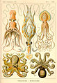 Haeckel Gamochonia Tafel 054 300.jpg