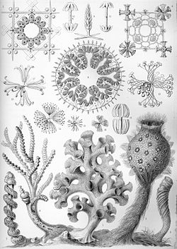 """Hexactinellida"" do livro Artforms of Nature, de Ernst Haeckel, 1904."