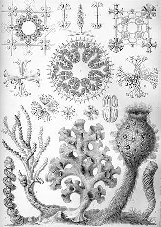 """Hexactinellid - """"Hexactinellae"""" from Ernst Haeckel's Kunstformen der Natur, 1904"""
