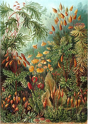 """Muscinae"" d'Ernst Haeckel Artforms of Nature, 1904"