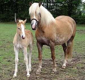 Haflinger - A Haflinger mare and foal