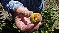 Hailed apricor fruit.jpg