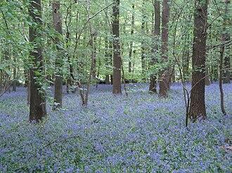 Bluebell wood - Hallerbos, Belgium