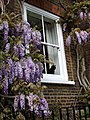 Hampstead cat with wisteria - geograph.org.uk - 414819.jpg