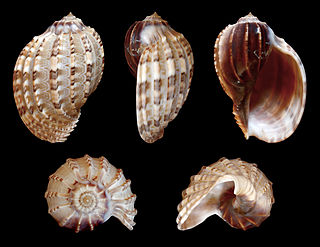 <i>Harpa articularis</i> Species of gastropod
