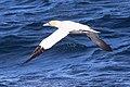Havssula - Northern gannet-4454 - Flickr - Ragnhild & Neil Crawford.jpg