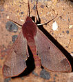 Hawkmoth (Afroclanis calcareus) (16316596177).jpg