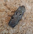 Heart and dart. Agrotis exclamationis (1) - Flickr - gailhampshire.jpg