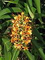 Hedychium coccineum (15269579142).jpg