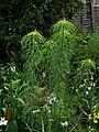 Helianthus salicifolius - Flickr - peganum (2).jpg