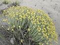 Helichrysum italicum (Roth) G. Don 0904 03.JPG