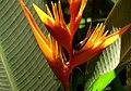 Heliconia psittacorum 'Guyana' (3) (14714702810).jpg