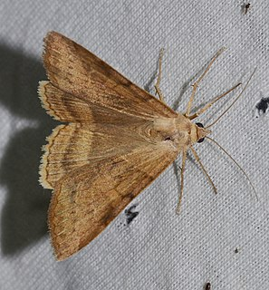 <i>Helicoverpa zea</i> Species of moth