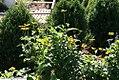 Heliopsis helianthoides 7zz.jpg