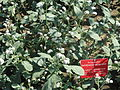 Heliotropium europaeum - Botanischer Garten, Frankfurt am Main - DSC03220.JPG