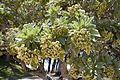Heliotropium foertherianum 0028.jpg