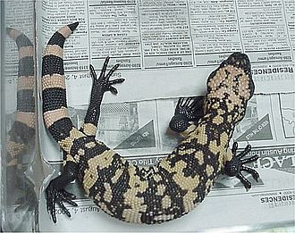The Adventure of the Speckled Band - Heloderma suspectum, the Mexican Gila monster