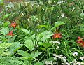 Hemerocallis Stafford - Flickr - peganum (1).jpg